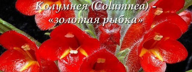 Колумнея (Columnea) – «золотая рыбка»