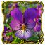 Viola_officinalis...
